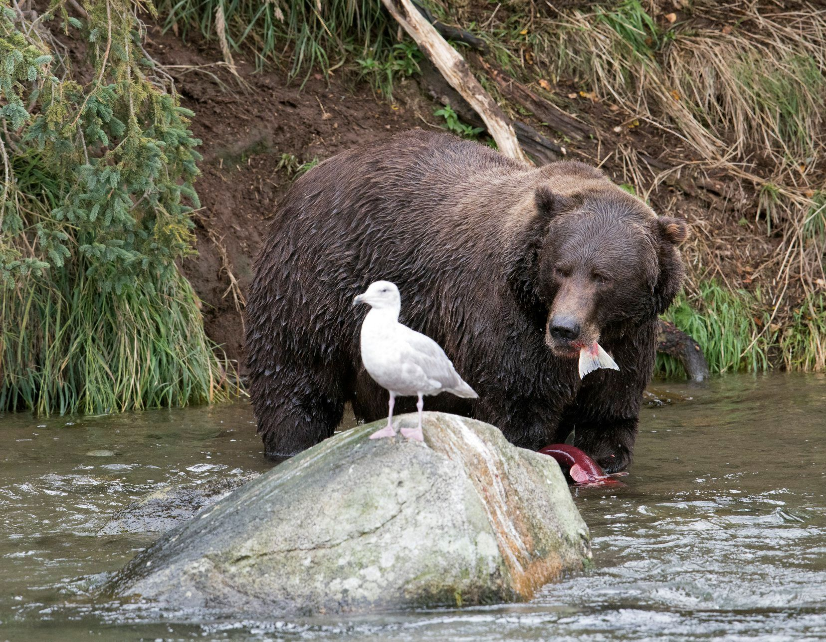 Bear looking at bird with fish in mouth