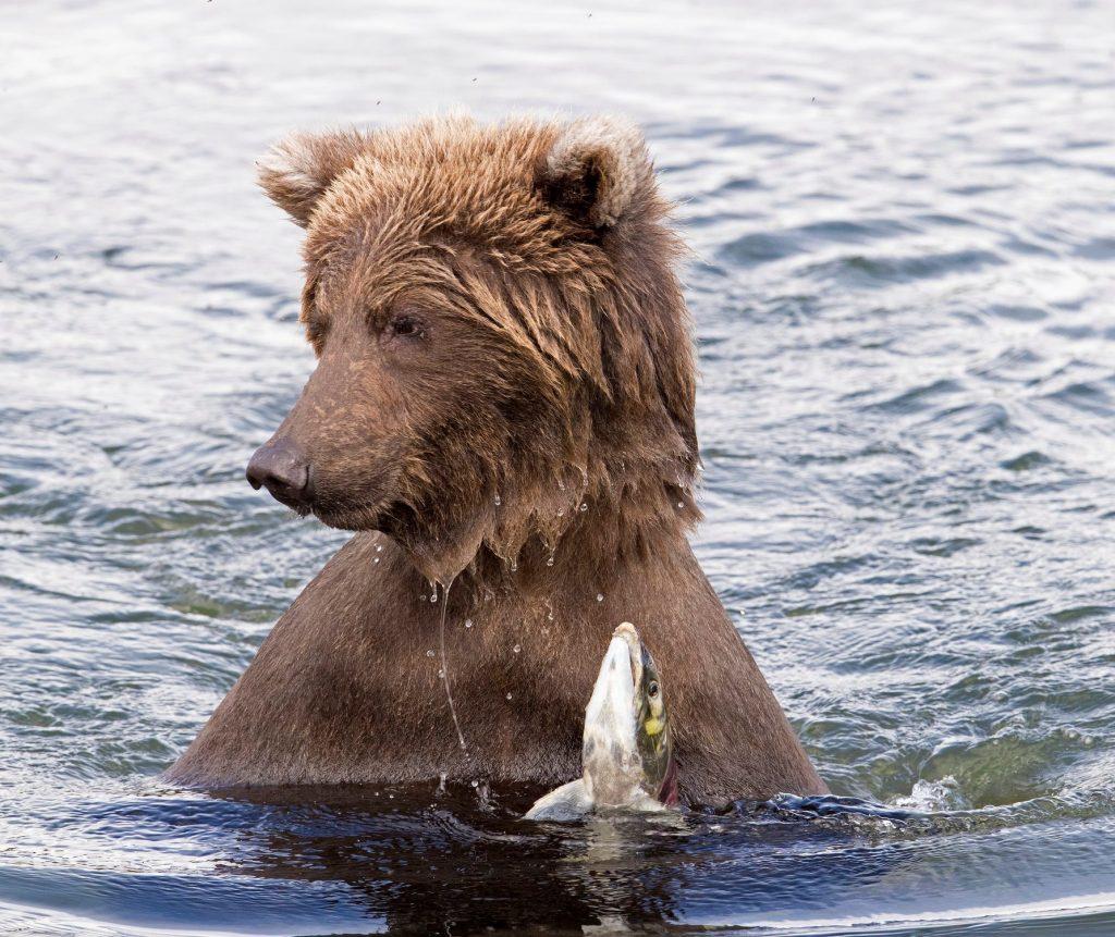A salmon buffet from Brooks Falls, Alaska bears. Courtesy of Lee Pastewka.
