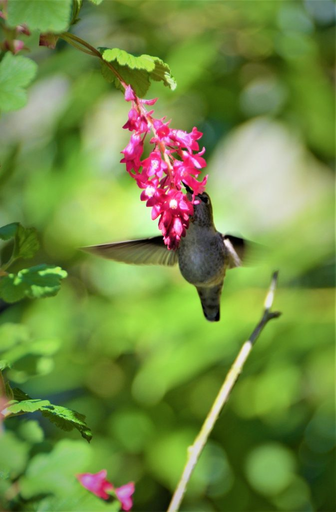 Hummingbird enjoying a flower. Courtesy of Steve Zemke.