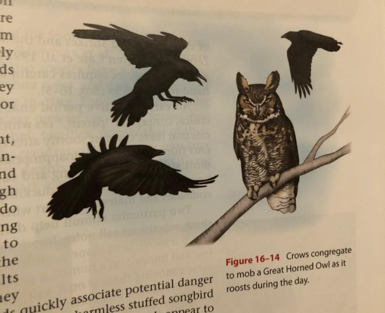 Three crows surrounding a great horned owl.