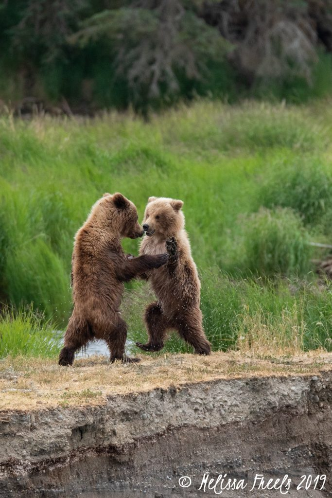 Two bear cubs wrestling with each other. Courtesy of Melissa Freels and Brooks Falls.